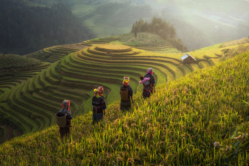 Fotobehang Rijstvelden Farmer in Rice fields on terraced in rainny season at Mu cang chai, Vietnam. Rice fields prepare for transplant at Northwest Vietnam