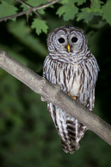 Barred Owl - Strix varia, perched on a branch making eye contact.  Leaves and bokeh of leaves in the background.