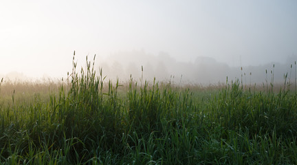 Grass in the fog