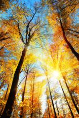 Wall Mural - Wald im Herbst, die gelben Baumwipfel werden von der Sonne hell beleuchtet