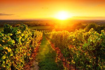 Weinberg im goldenen Licht bei Sonnenuntergang