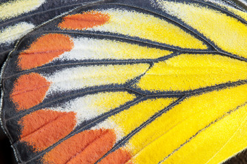 Closeup The Painted Jezebel wing, butterfly wing detail texture background