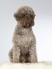 Lagotto Romagnolo dog portrait. Image taken in a studio.