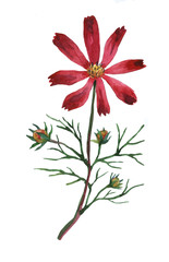 Purple Cosmos bipinnatus, commonly called the garden cosmos or Mexican aster. Watercolor hand painting illustration on isolate white background.