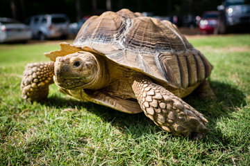 Large Brown Turtle in Grass