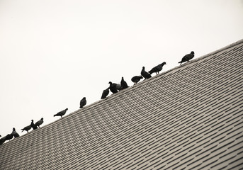 Silhouette queue of group/flock pigeon or dove birds on roof tile.