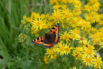 Small Tortoiseshell Butterfly on Yellow Ragwort