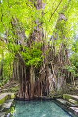 Old balete tree, Lazi, Siquijor Island, Philippines