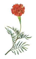 Tagetes patula, the French marigold. Garden flowering plant. Watercolor hand painting illustration on isolate white background.