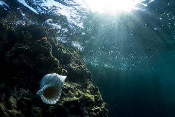 Under water view of a conch shell,  on the north shore.