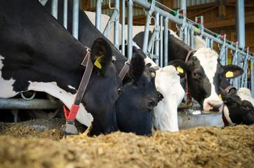 Holstein Friesian Kühe fressen Silage im modernen Milchviehstall