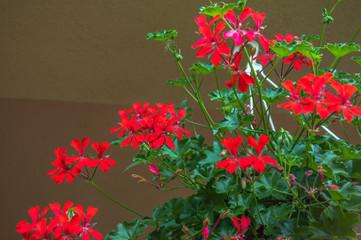 Red geranium (Pelagronium Cascading)