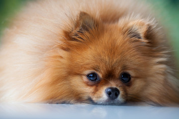 Sleep cute Pomeranian lies on a white surface