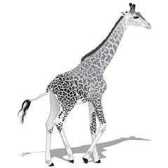 African Giraffe BW