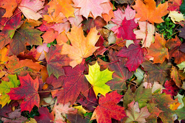Maple falling leaves on the earth