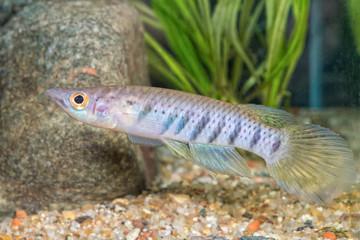 Portrait of fish (Epiplatys spilargyreius) in aquarium