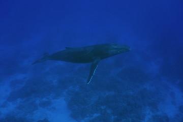 A humpback whale Megaptera novaeangliae underwater