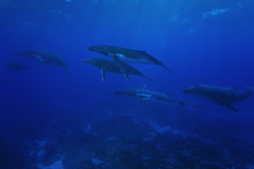 Group of humpback whales underwater Pacific ocean