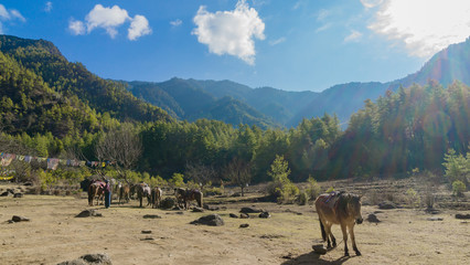 Horses and grass landscape with the green mountains,Bhutan
