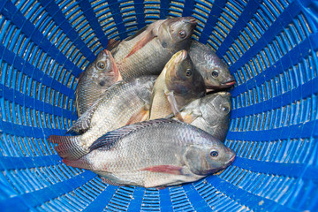 Tilapia and Nile tilapia in blue plastic bucket, raw fresh fresh