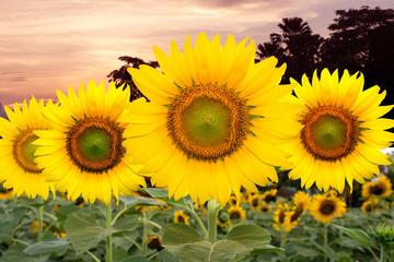sunflowers, sunset