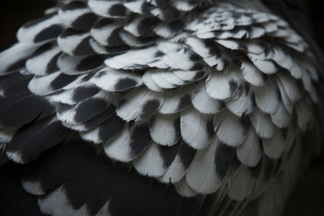 close up detail of spot pigeon wing feather with lov light photo