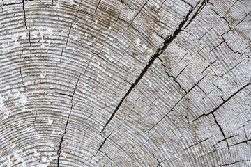 Old wooden surface with annual rings, cracks and white paint