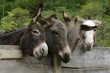 Esel - Hausesel (Equus asinus)