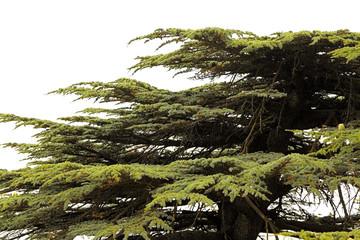The Lebanon Cedar tree on a white background