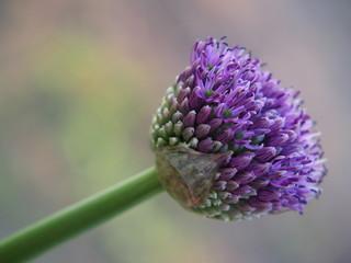 Czosnek olbrzymi kwiat wiosny w ogrodzie wiosennym