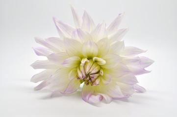 Хризантема изолированная на белом