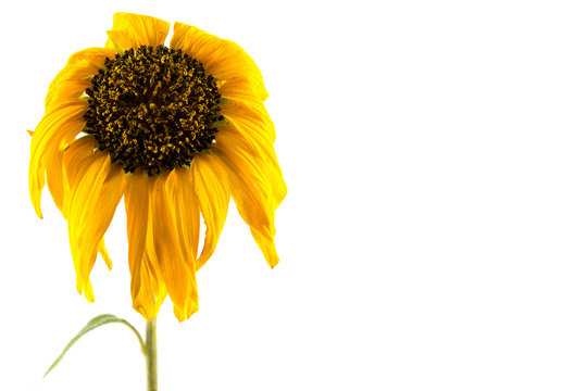 Sunflower yellow, wilt