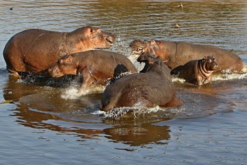 Wall Mural - Hippos in the beautiful nature habitat, this is africa, african wildlife, endangered species, green lake