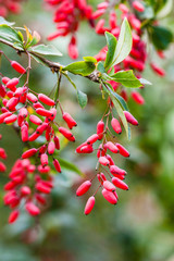 ripe fruits of red Berberis (barberry) on twig