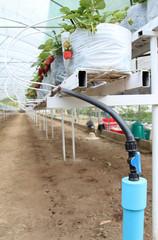 Strawberry farm in the greenhouse at Samoeng, Chiangmai, Thailand.