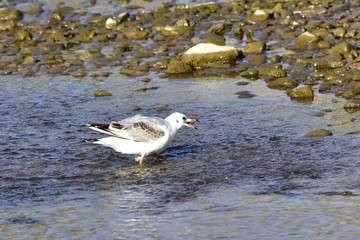 young black headed gull with fish in beak