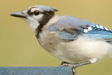 Blue Jay Eating On A Feeder