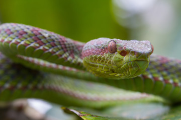 Close up Pitviper snake