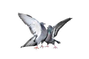 a pair of rock pigeons cooing and kissing spread its wings and feathers on white isolated background
