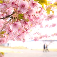 Cherry Blossoms Blooming Outdoors
