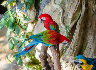 Green-winged macaw sitting on a branch