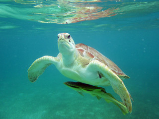 Close-Up Of A Turtle Underwater