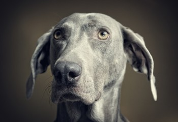 Studio shot of Weimaraner