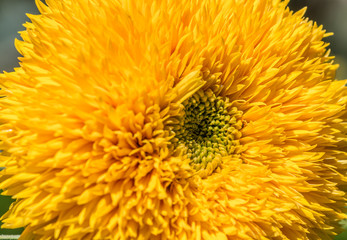Close up of ornamental sunflower