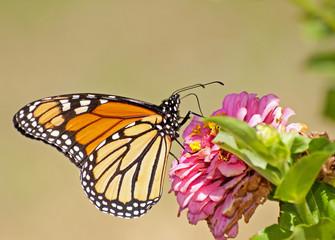 Migrating Monarch butterfly, Danaus plexippus, feeding on a Zinnia flower