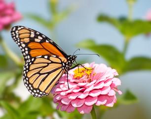 Monarch butterfly feeding flower nectar on a pink Zinnia in summer garden