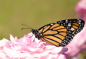 Danaus plexippus, Monarch butterfly, on a pale pink rose