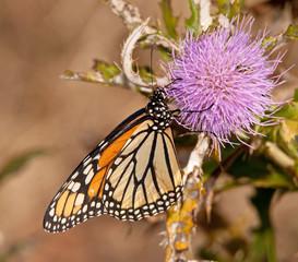 Monarch butterfly feeding on a purple thistle flower in fall