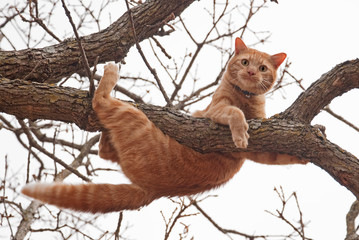 Cat in distress - orange tabby cat about to fall off of a tree; with a worried look on his face