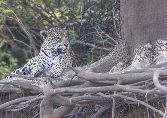 Wall Murals Panther Male Jaguar resting in tree roots